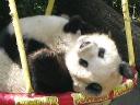 Pandi na gugalnici v dunajskem živalskem vrtu